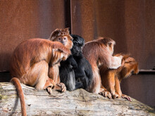 Group Of East Javan Langur, A Monkey From The Colobinae Subfamily