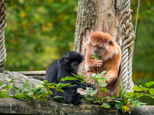 Two East Javan Langur, A Monkey From The Colobinae Subfamily