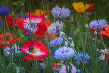 Summer Meadow With Cornflowers And Bumblebee In Poppy Flower