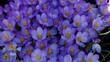 Leinwandbild Motiv Cluster of Spring Crocus
