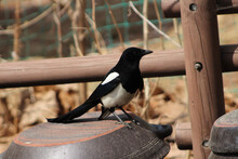 Selective Focus Shot Of A Black Magpie Bird Perching On A Covered Jar