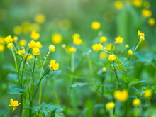 Yellow Flowers Of Buttercup Mountain Ranunculus Montanus.