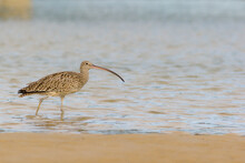 Endangered Eastern Curlew (Numenius Madagascariensis) Wading On The Edge Of A Creek. Hastings Point, NSW, Australia