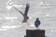 Closeup Of Black-headed Gulls Perched On The Wooden Mooring Bollard.