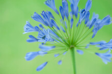 Single Agapanthus Praecox Flower On A Green Blurred Background.