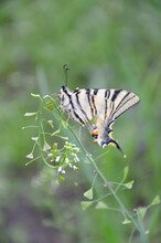 Scarce Swallowtail Butterfly On Green Background