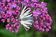 Scarce Swallowtail Butterfly On Purle Lilac