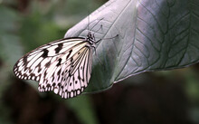 Closeup Of The Idea Leuconoe, Also Known As The Paper Kite Butterfly, Rice Paper Butterfly.
