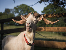 A Funny Portrait Of A Goat Sticking Out A Tongue On A Farm