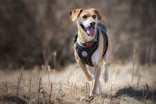 A Beagle Mixed Bred Trots Through The Dead Grass Of Early Spring.