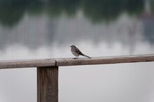 A Young Wagtail Is Sitting On The Railing