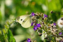 White Cabbage Butterfly Sucks The Nectar Of A Purple Flower