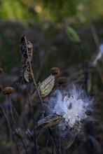 Milkweed Seedpod Wildflower In The Garden In Autumn
