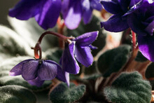 Lilac Flowers Of African Violets. Potted Plant