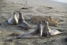 Island Sea Lions