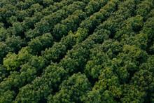 Rows Of Trees Ready To Harvest, Farming New Zealand