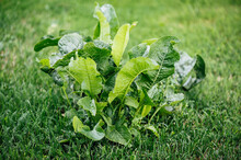 Green Leaves Horseradish On Green Grass.  Horizontal Green World Poster, Greeting Cards, Headers, Website