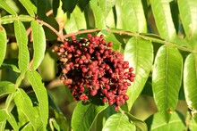 Close-up Of Sumac Berries On Green Leaves Background