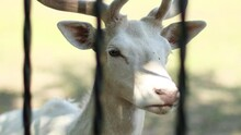 Portrait Of Beautiful Rare Albino White Deer Face Stands Behind Metal Bars At The Zoo