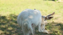 Rare Albino White-tailed Deer On A Meadow At Ecological Zoo