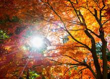 Sun Shining Through Autumn Tree's At Tokyo Gardens