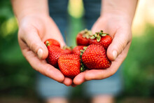 Close Up Shot Of A Person Hands Picking Strawberries