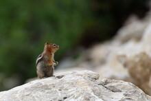 Golden Mantled Ground Squirrel In Wasatch National Forest
