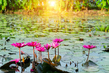 Beautiful Red Waterlily Or Lotus Flower Blooming Is Complimented By The Rich Pink Color With Leafs Background In The Pond With Sunlight Background.