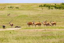 Group Of Eland Antelope On The Savanna