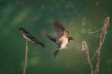 Barn Swallow (Hirundo Rustica) Or Swift, Lovely Black Bird With Brown Face Perching On  Green Background