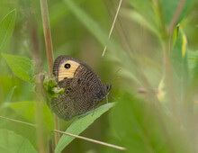 Common Wood Nymph Butterfly Perched In Grass