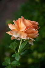 Beautiful Blooming Orange Rose In The Summer Garden. Floribunda Rose. Close Up. Copy Space.