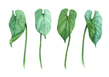 Watercolor Illustration Set Anthurium Leaves