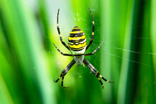 Wasp Spider On A Spider Web And Green Plants