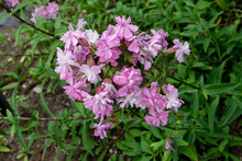 Common Soapwort Or Saponaria Officinalis Plant With Pale Pink Flowers