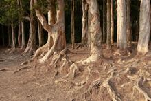 A Paperbark Trees Shing Mun Reservoir, Hong Kong