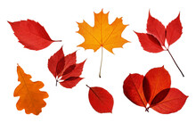 Collection Of Bright Autumn Transparent Leaves Isolated