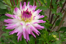 Dahlia 'Clearview Cameron' In Flower