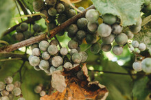 Grape Bunches And Leaves Infected With Powdery Mildew