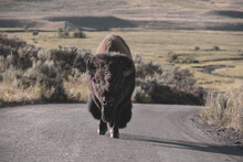 Muted Tones Of Bison Walking Up MIddle Of Dirt Road