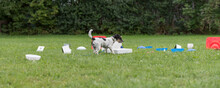 Young Little Jack Russell Terrier Doggy 1 Year Old. Little Obedient Dog Retrieves A Toy From A Crowd Of Objects