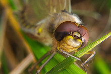 Closeup View Of A Dragonfly Head Soon After Hatching
