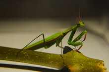 Common Praying Mantis Close-up. Mantis Religiosa