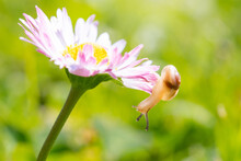 Small Snail On A Garden Flower. Close-up And Macro