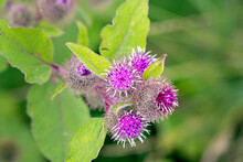Common Burdock, Or Arctium Minus, On A Summer Afternoon, Close-up