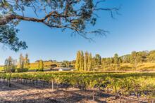Golden Afternoon Sun Shining On A Vineyard In McLaren Vale, South Australia