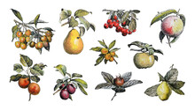 Fruit Collection - Vintage Illustration From Larousse Du Xxe Siècle