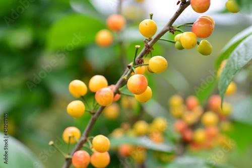 Fotografie, Obraz The cherry trees on the farm ripen into cherries in summer
