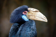 Wreathed Hornbill (Rhyticeros Undulatus) Female, Also Known As The Bar-pouched Wreathed Hornbill
