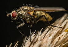 Macro Shot Of The Details Of A Diptera Fly On A Plant